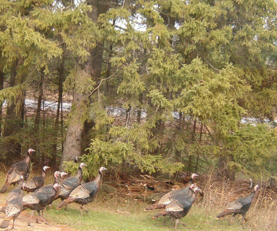 Turkey in the Northwoods